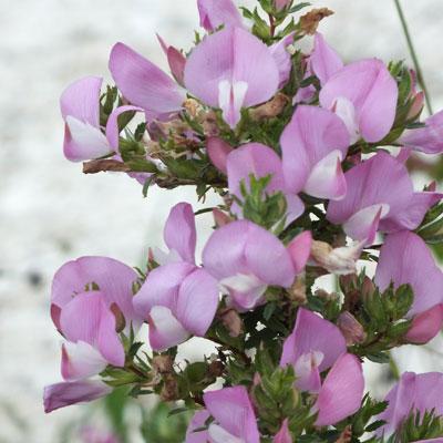 Ononis spinosa (Spiny Restharrow)