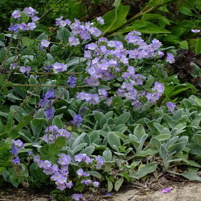 Polemonium 'Glebe Cottage Lilac' with Stachys byzantina 'Silver Carpet' (S.