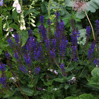 Salvia 'Maynight'