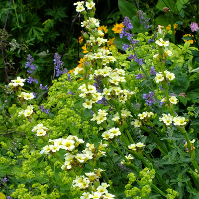 Sisyrinchium Alchemilla and Nepeta