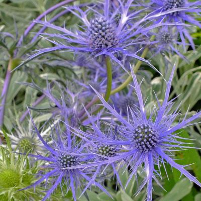 Eryngium 'Pen Blue'