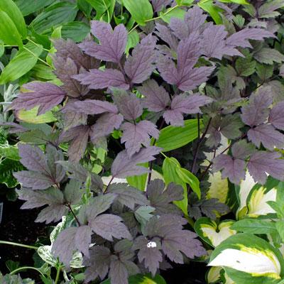 Actaea simplex 'Black Negligee' syn. Cimicifuga