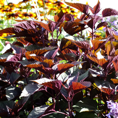Ageratina altissima 'Chocolate' ( Eupatorium 'Chocolate' )