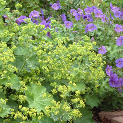alchemilla archives dorset perennials. Black Bedroom Furniture Sets. Home Design Ideas