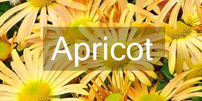 Colours-Apricot