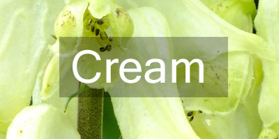 Colours-Cream