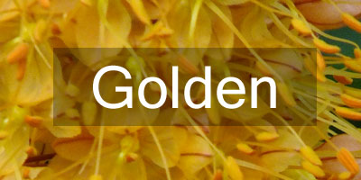 Colours-Golden