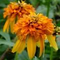Perennial Catalog  Sandys Plants Inc