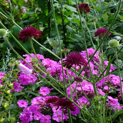 Knautia 'Red Knight' with Phlox 'Pink Flame'
