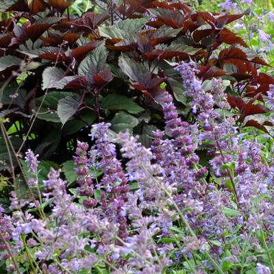 Mixed Nepeta with Eupatorium 'Chocolate'