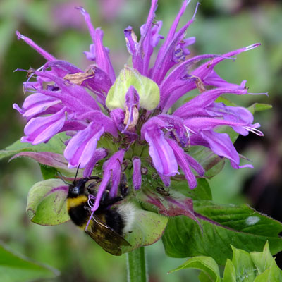 Monarda didyma 'Prarienacht' ('Prairie Night')