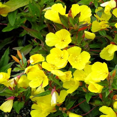 Oenothera fruticosa 'Erica Robin'