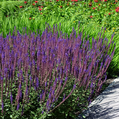 salvia nemorosa 39 caradonna 39 dorset perennials. Black Bedroom Furniture Sets. Home Design Ideas