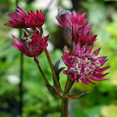 Astrantia major 'Ruby Star'