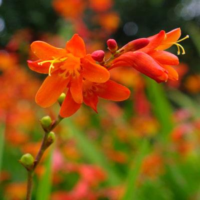 Crocosmia x crocosmiiflora 'Red King'