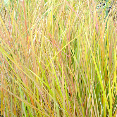 Anemanthele lessoniana (Stipa arundinacea) - New Zealand Wind Grass, Pheasant's Tail Grass