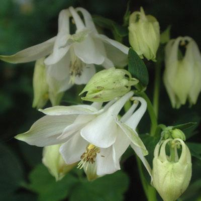 Aquilegia vulgaris 'Nivea' ('Munstead White')