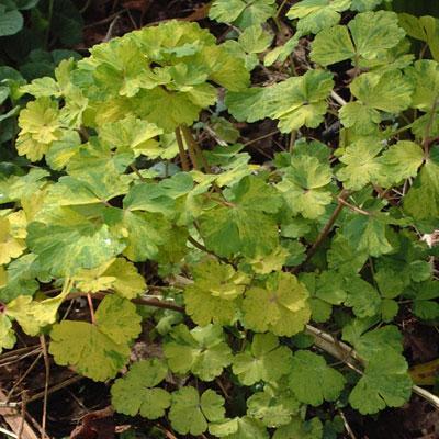 Aquilegia vulgaris Vervaeneana Group (Woodside Group)