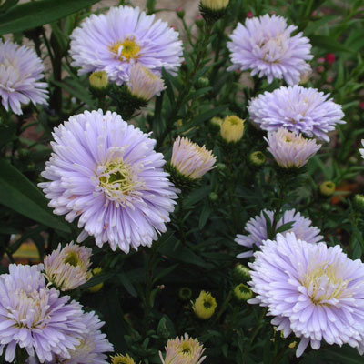 Aster novi-belgii 'Brigitte' (Symphyotrichum novi-belgii 'Brigitte')
