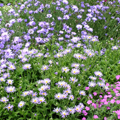 Aster amellus 'King George' with Catanache