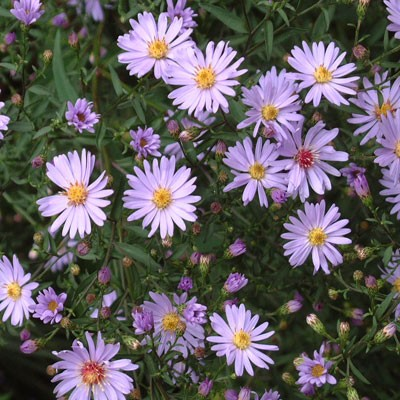 Aster 'Little Carlow' AGM (Symphyotrichum 'Little Carlow')
