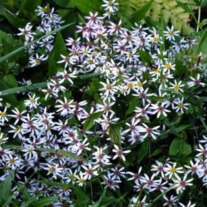 Aster divaricatus (Eurybia divaricatus)