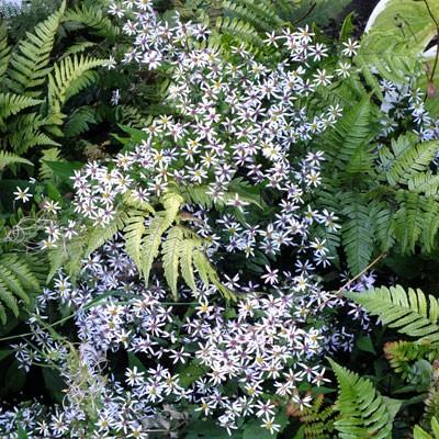 Aster frikartii Monch Young Plant 9cm Pot Michaelmas Daisy