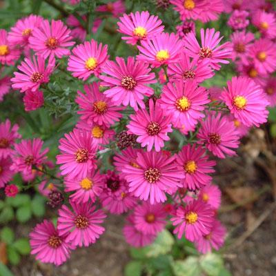 Aster novi-belgii 'Beechwood Rival' (Symphyotrichum novi-belgii 'Beechwood Rival')