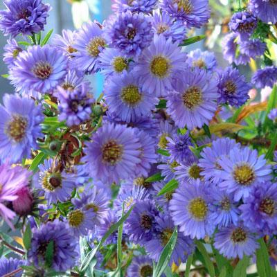 aster novi belgii 39 little boy blue 39 symphyotrichum novi belgii 39 little boy blue 39 dorset. Black Bedroom Furniture Sets. Home Design Ideas