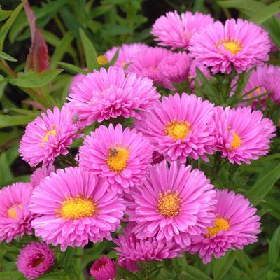 Aster novi-belgii 'Patricia Ballard' (Symphyotrichum novi-belgii 'Patricia Ballard')