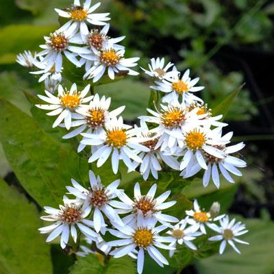 Aster schreberi (Eurybia schreberi)