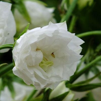 Campanula persicifolia 'Boule de Neige'