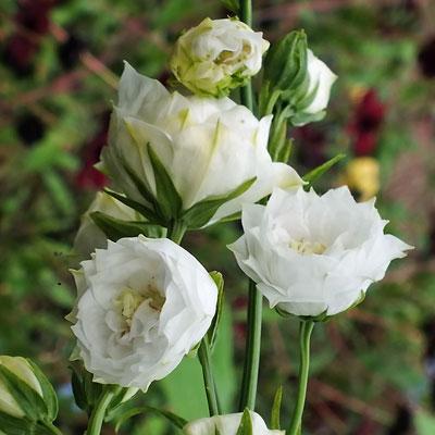 Campanula Bellflowers In Detail Dorset Perennials