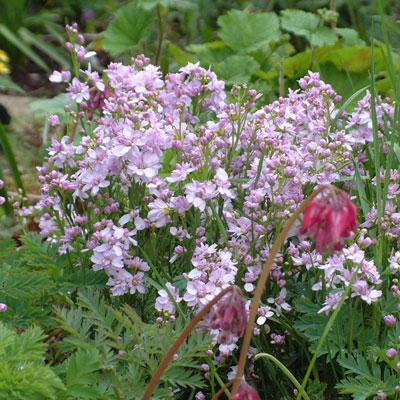 Cardamine pratensis 'Flore Plen0' Cuckoo flower, Milkmaids or Lady's Smock