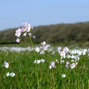 Cardamine pratensis Cuckoo flower, Milkmaids or Lady's Smock