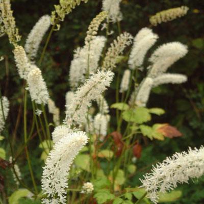 Actaea matsumerae 'White Pearl' (Cimicifuga)