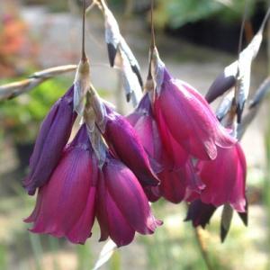 Dierama pulcherrimum 'Merlin'