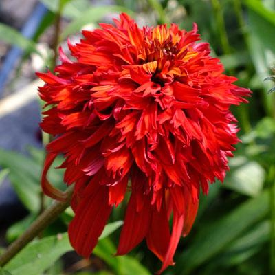echinacea 39 hot papaya 39 dorset perennials. Black Bedroom Furniture Sets. Home Design Ideas