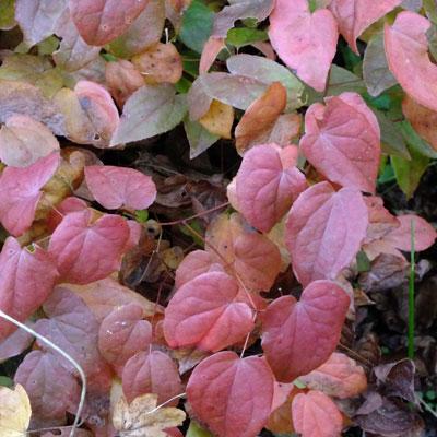 Epimedium grandiflorum 'Lilafee' (Lilac Fairy)