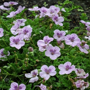 Erodium 'Spanish Eyes'