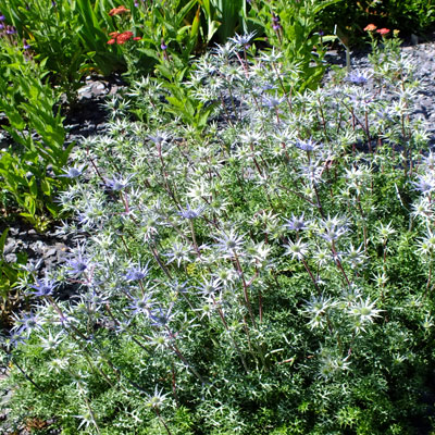 Eryngium bourgatti Graham Stuart Thomas's selection