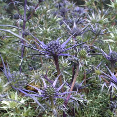 Eryngium bourgatti Graham Stuart Thomas's selection