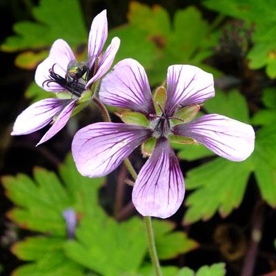 Geranium 'Salome'