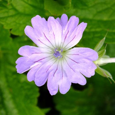 Geranium nodosum 'Hexham Lace'