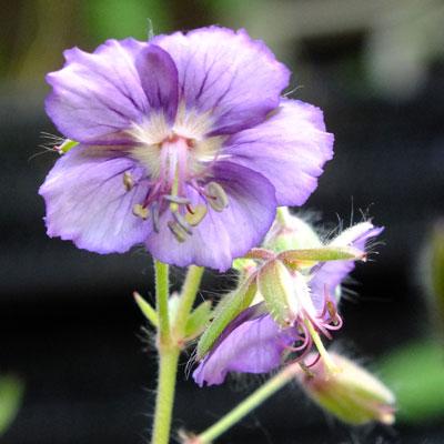 Geranium phaeum 'Lavender Pinwheel'