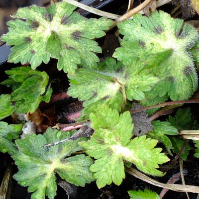 Geranium phaeum 'Lisa'