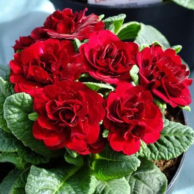 Primula Belarina 'Valentine'