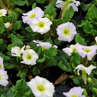 Primula vulgaris 'Carrigdale'