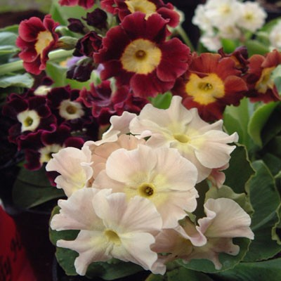 Primula x pubescens (Primula auricula)