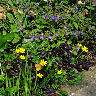 Ficaria verna 'Brazen Hussy' (Ranunculus ficaria) and Pulmonaria